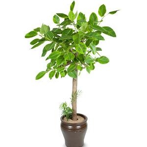 벵갈고무나무 원형