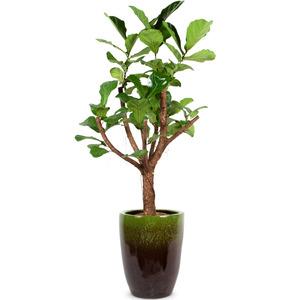 떡갈고무나무-가지
