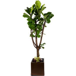 떡갈고무나무-대품