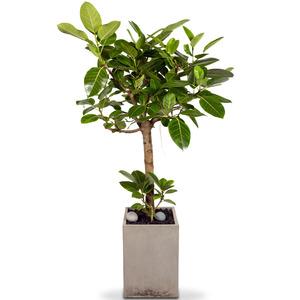 뱅갈고무나무-VIP
