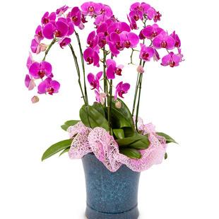 호접란 공기정화식물