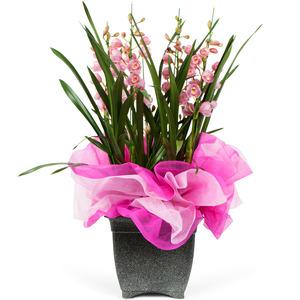 심비디움(핑크)-계절상품