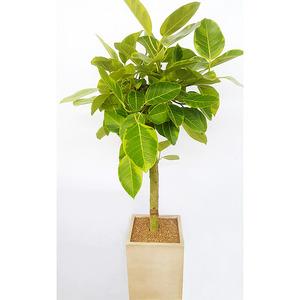 뱅갈고무나무 - 인기상품