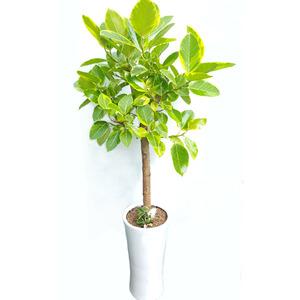 뱅갈고무나무-백자