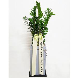 시멘금전수-공기정화식물